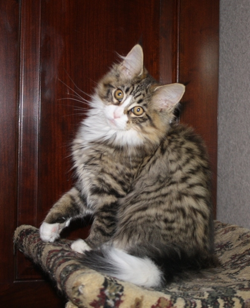 Pixel-Maine-Coon-Kitten-small.JPG