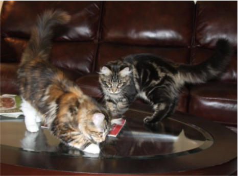 Icoons Maine Coon Cats