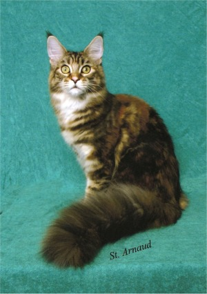 Maine Coon Cats Icoons Maine Coons Panama City Florida